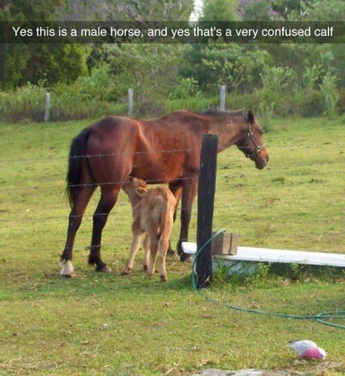 Horse - Yes this is a male horse, and yes that's a very confused calf