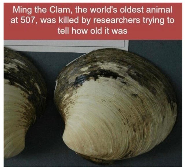 Clam - Ming the Clam, the world's oldest animal at 507, was killed by researchers trying to tell how old it was