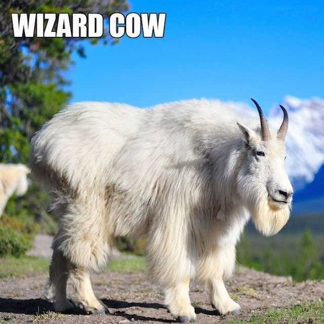 Goat - WIZARD COW
