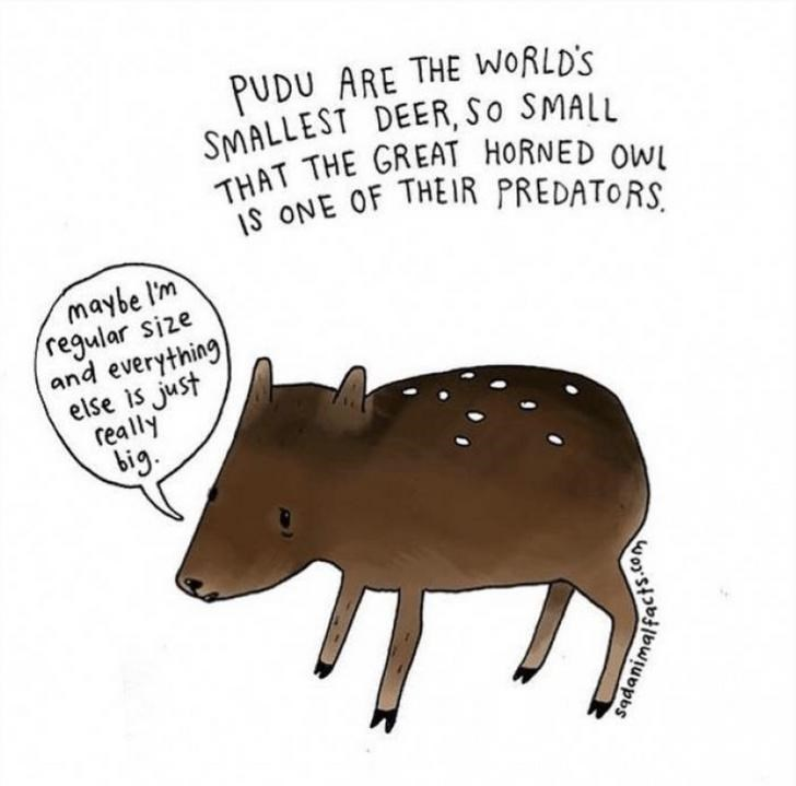 Tapir - PUDU ARE THE WORLD'S SMALLEST DEER, So SMALL THAT THE GREAT HORNED OW ONE OF THEIR PREDATORS maybe l'm regular size and everything else is just really big sadan