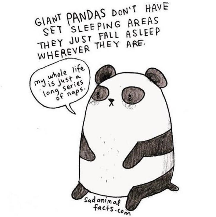 Cartoon - GIANT PANDAS DON'T HAVE SET SLEEPING AREAS THEY JUST FALL ASLEEP WHEREVER THEY ARE whole life is just a ong series of naps Sadanimaf facts com