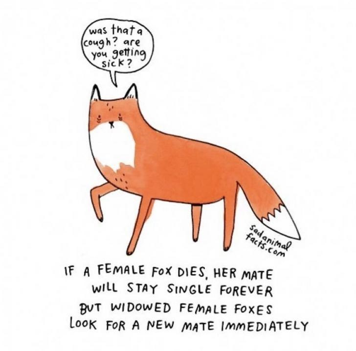 Red fox - was thata Cough? are you getting sick? Sadanimal facts.com IF A FEMALE Fox DIES, HER MATE WILL STAY SINGLE FOREVER BVT WIDOWED FEMALE FOXES LooK FOR A NEW MATE IMMEDIATELY