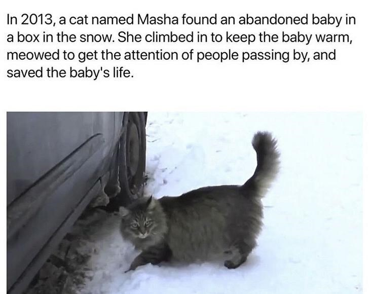 Cat - In 2013, a cat named Masha found an abandoned baby in a box in the snow. She climbed in to keep the baby warm, meowed to get the attention of people passing by, and saved the baby's life