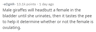 Text - -eDgAR- 13.1k points 1 day ago Male giraffes will headbutt a female in the bladder until she urinates, then it tastes the pee to help it determine whether or not the female is ovulating.