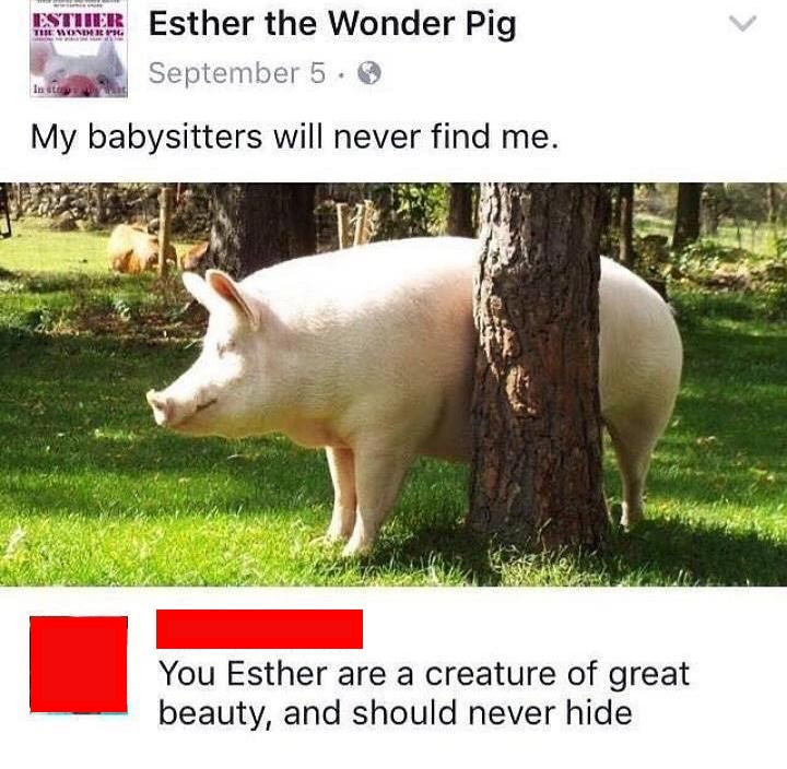 Domestic pig - SEEsther the Wonder Pig THE WONDER r September 5 In ste My babysitters will never find me. You Esther are a creature of great beauty, and should never hide