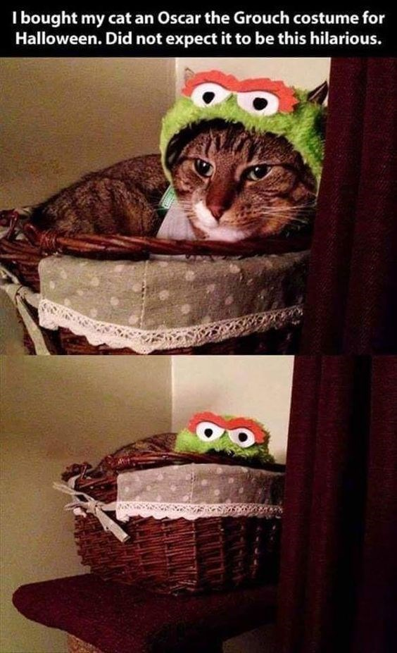 Cat - I bought my cat an Oscar the Grouch costume for Halloween. Did not expect it to be this hilarious.