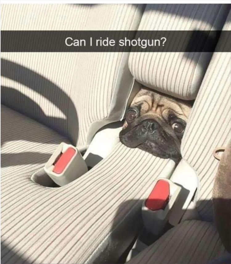 Pug - Can I ride shotgun?