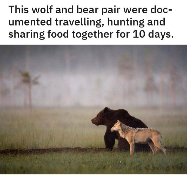 Text - This wolf and bear pair were doc- umented travelling, hunting and sharing food together for 10 days.
