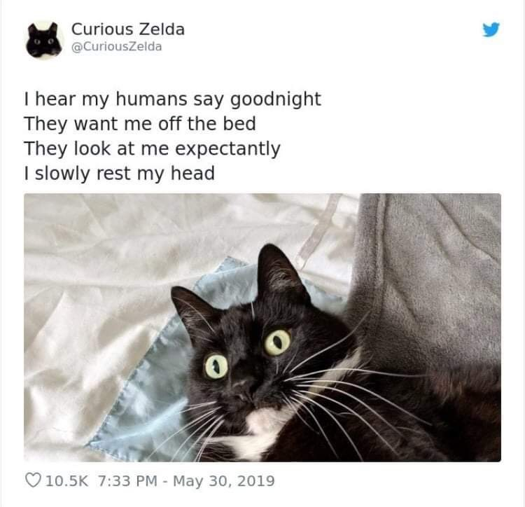 Cat - Curious Zelda @CuriousZelda hear my humans say goodnight They want me off the bed They look at me expectantly slowly rest my head V10.5K 7:33 PM - May 30, 2019