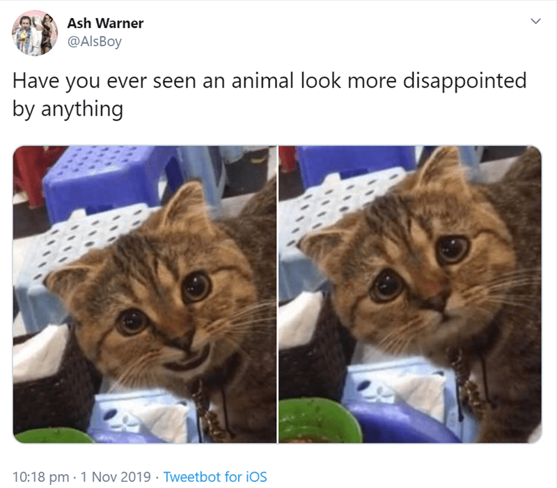 Cat - Ash Warner @AlsBoy Have you ever seen an animal look more disappointed by anything 10:18 pm 1 Nov 2019 Tweetbot for iOS