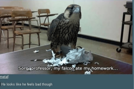 Peregrine falcon - Sorry professor, my falcon ate my homework... metaf He looks like he feels bad though