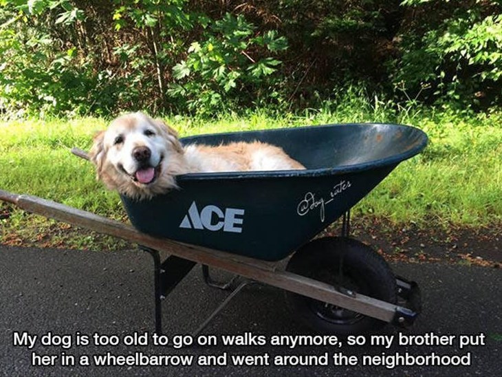 Canidae - ACE ales My dog is too old to go on walks anymore, so my brother put her in a wheelbarrow and went around the neighborhood