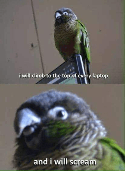Bird - i will climb to the top of every laptop and i will scream