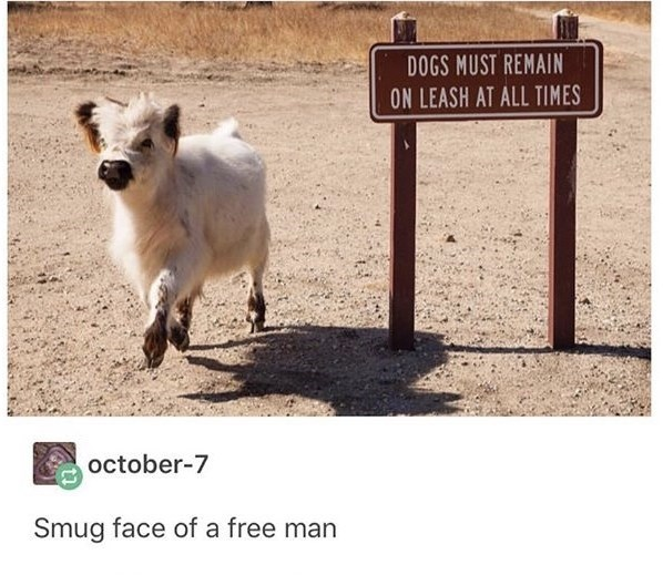 Goats - DOGS MUST REMAIN ON LEASH AT ALL TIMES october-7 Smug face of a free man