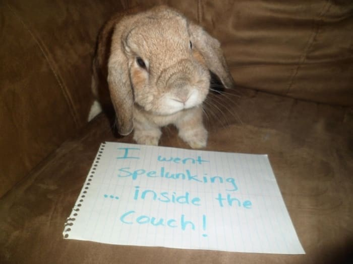 Domestic rabbit - I Spelunking inside the Couch went