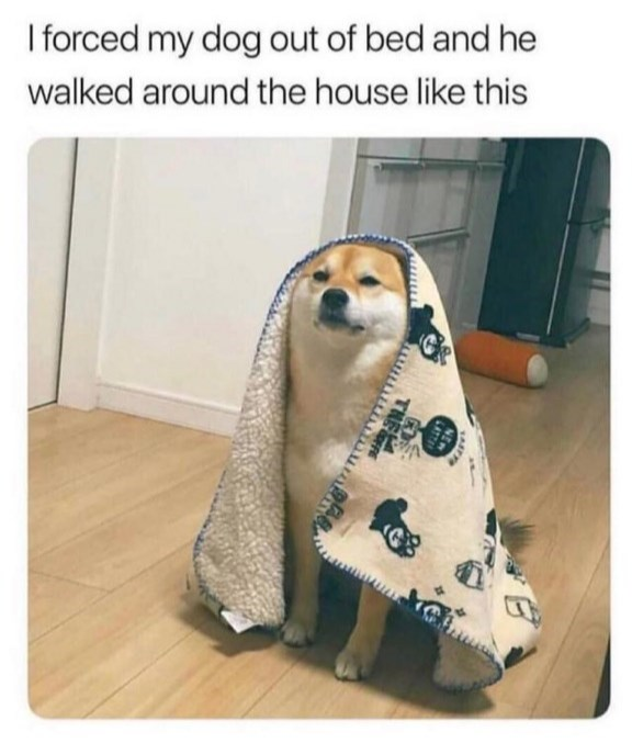 Dog - I forced my dog out of bed and he walked around the house like this LATT THE
