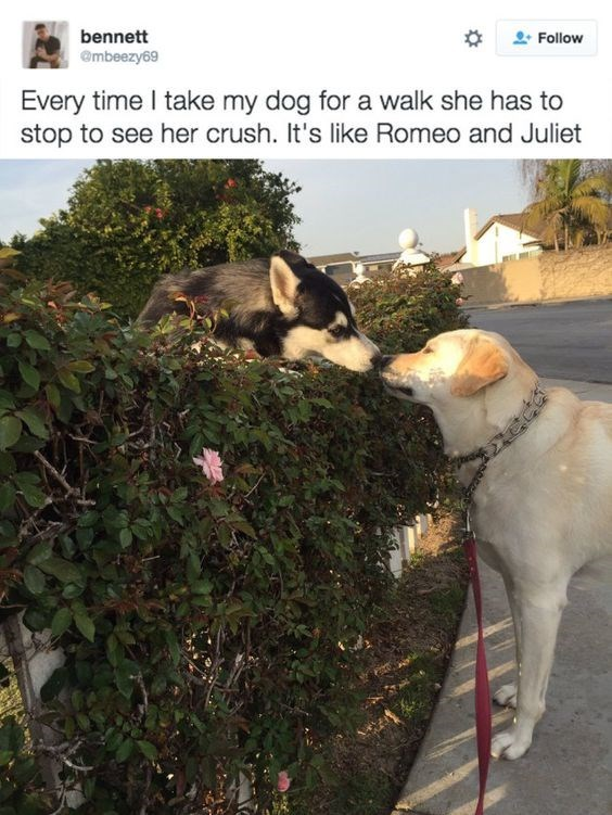 Canidae - bennett Follow @mbeezy69 Every time I take my dog for a walk she has to stop to see her crush. It's like Romeo and Juliet