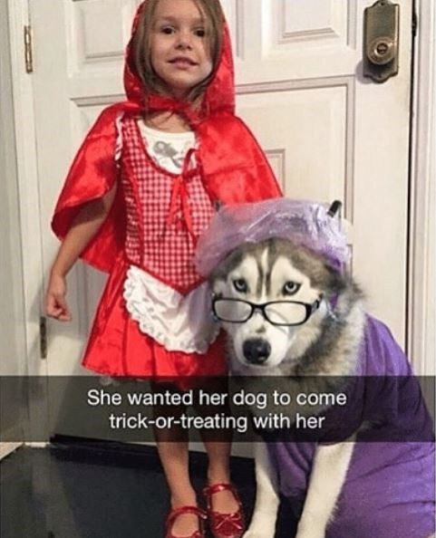 Siberian husky - She wanted her dog to come trick-or-treating with her