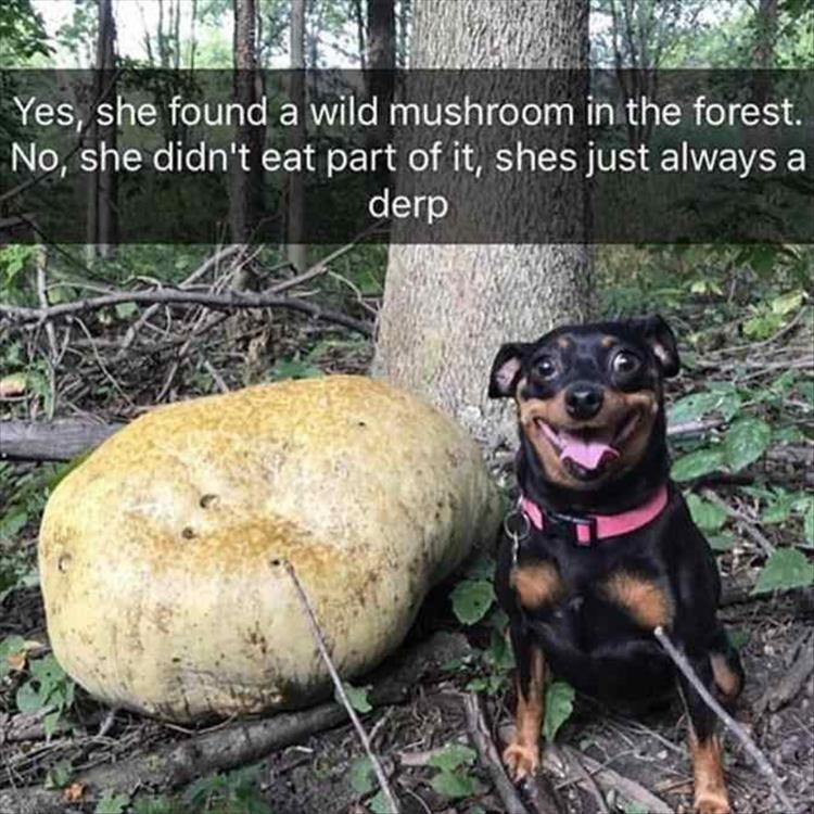 Dog - Yes, she found a wild mushroom in the forest. No, she didn't eat part of it, shes just always a derp