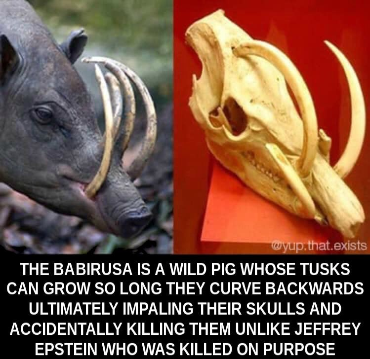 Terrestrial animal - wyup.that.exists THE BABIRUSA IS A WILD PIG WHOSE TUSKS CAN GROW SO LONG THEY CURVE BACKWARDS ULTIMATELY IMPALING THEIR SKULLS AND ACCIDENTALLY KILLING THEM UNLIKE JEFFREY EPSTEIN WHO WAS KILLED ON PURPOSE