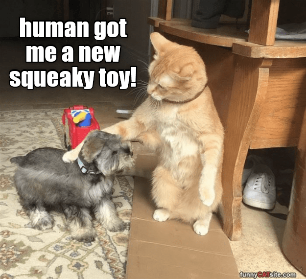 Cat - human got me a new ueaky toy! funnyCATsite.com