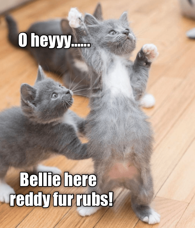 Cat - 0 heyyy.... Bellie here reddy fur rubs!