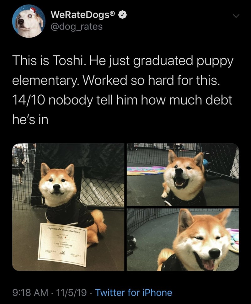 Mammal - WeRateDogs @dog_rates This is Toshi. He just graduated puppy elementary. Worked so hard for this. 14/10 nobody tell him how much debt he's in Diploma of Canine Excellence Toshi 9:18 AM 11/5/19 Twitter for iPhone