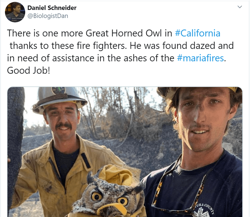 Selfie - Daniel Schneider @BiologistDan Dasiel Sched Bag There is one more Great Horned Owl in #California thanks to these fire fighters. He was found dazed and in need of assistance in the ashes of the #mariafires. Good Job! URA COUNTY