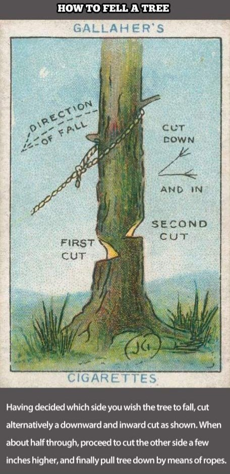 Botany - HOW TO FELLATREE GALLAHER'S DIRECTION CUT DOWN 2OF FALL AND IN SECOND CUT FIRST CUT (JG CIGARETTES Having decided which side you wish the tree to fall, cut alternatively a downward and inward cut as shown. When about half through, proceed to cut the other side a few inches higher, and finally pull tree down by means of ropes.