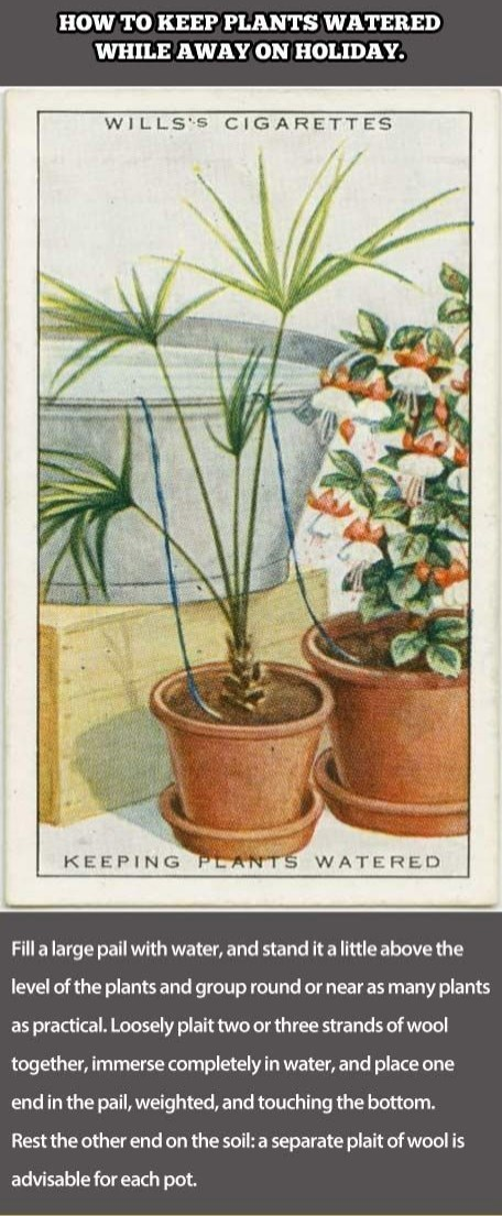 Flower - HOW TO KEEP PLANTS WATERED WHILE AWAY ON HOLIDAY. WILLS'S CIGARETTES KEEPING PLANTS WATERED Fill a large pail with water, and stand it a little above the level of the plants and group round or near as many plants as practical. Loosely plait two or three strands of wool together, immerse completely in water, and place one end in the pail, weighted, and touching the bottom. Rest the other end on the soil: a separate plait of wool is advisable for each pot.