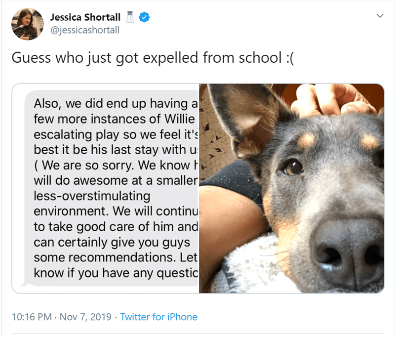 Dog breed - Jessica Shortall @jessicashortall Guess who just got expelled from school : Also, we did end up having a few more instances of Willie escalating play so we feel it's best it be his last stay with u (We are so sorry. We know will do awesome at a smaller less-overstimulating environment. We will continu to take good care of him and can certainly give you guys some recommendations. Let know if you have any questic 10:16 PM Nov 7, 2019 Twitter for iPhone