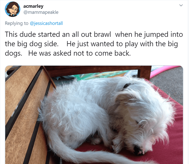 Dog - acmarley @mammapeakle Replying to @jessicashortall This dude started an all out brawl when he jumped into the big dog side. He just wanted to play with the big dogs. He was asked not to come back.