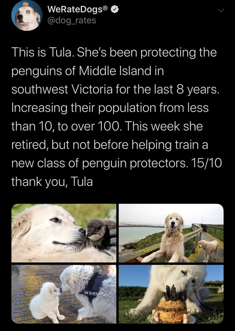 Adaptation - WeRateDogs® @dog_rates This is Tula. She's been protecting the penguins of Middle Island in southwest Victoria for the last 8 years. Increasing their population from less than 10, to over 100. This week she retired, but not before helping train a new class of penguin protectors. 15/10 thank you, Tula ASK TO PET