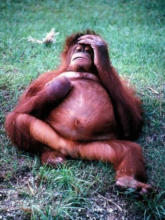 Orangutan - Found atwww.veryfunnypics.eu