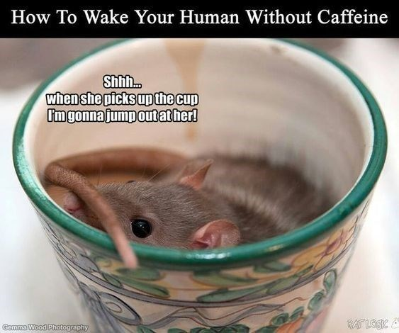 Rat - How To Wake Your Human Without Caffeine Shhh. when she picks upthe cup Umgonnajumpoutather! RAT LOGIC Gemma Wood Photography