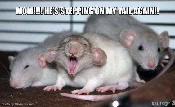Rat - MOM!!!HESSTEPPING ON MY TAILAGAIN! RAT LOGIC photo by Olivia Purnell