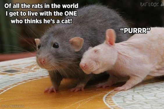 """Mammal - RAT LOGIC Of all the rats in the world I get to live with the ONE who thinks he's a cat! """"PURRR Peter Wolkewic"""