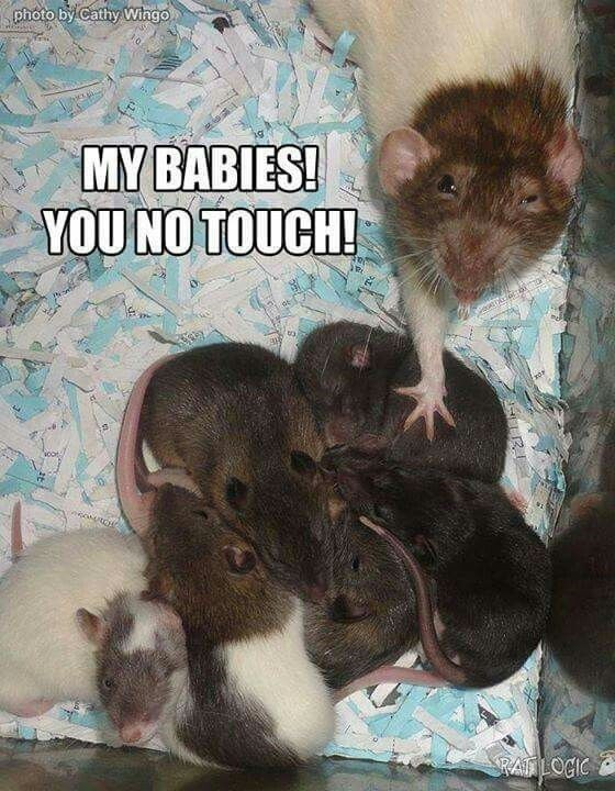 Rat - photo by Cathy Wingo MY BABIES! YOU NO TOUCH! RALOCIC पन ।