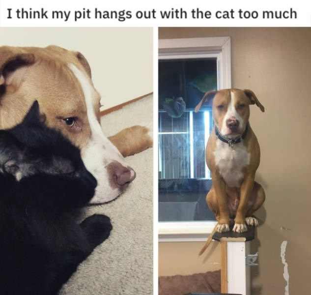 Dog breed - I think my pit hangs out with the cat too much