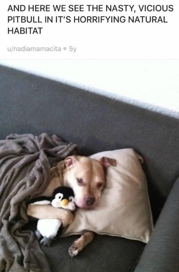 Canidae - AND HERE WE SEE THE NASTY, VICIOUS PITBULL IN IT'S HORRIFYING NATURAL HABITAT u/nadiamamacita 5y