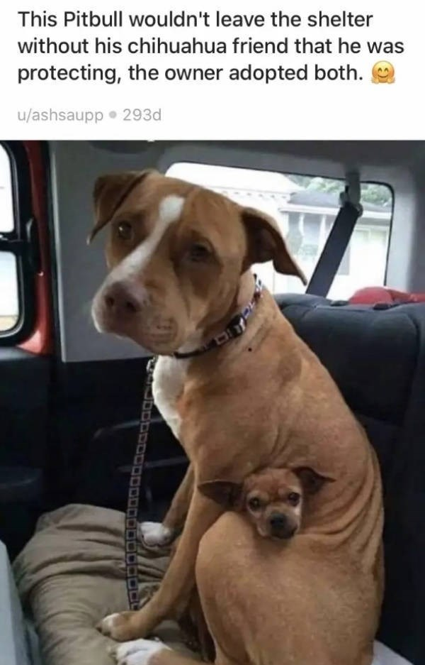 Dog - This Pitbull wouldn't leave the shelter without his chihuahua friend that he was protecting, the owner adopted both u/ashsaupp 293d