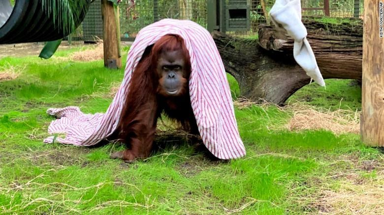 Orangutan - KEITHVONSTEIN AP