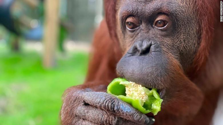 Orangutan - KEITH ONSTEIN AP
