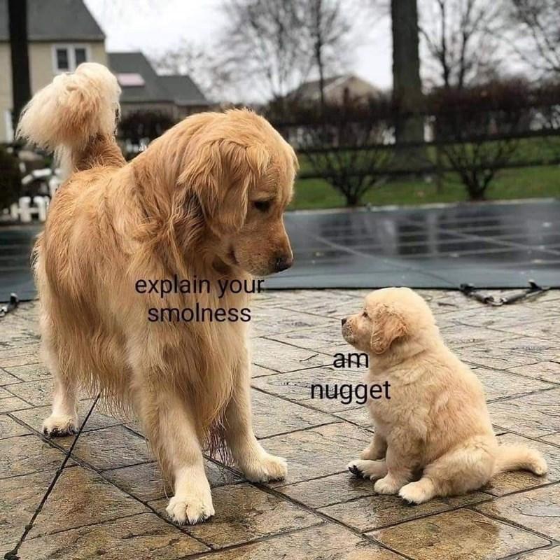 Dog - explain your smolness аm nugget