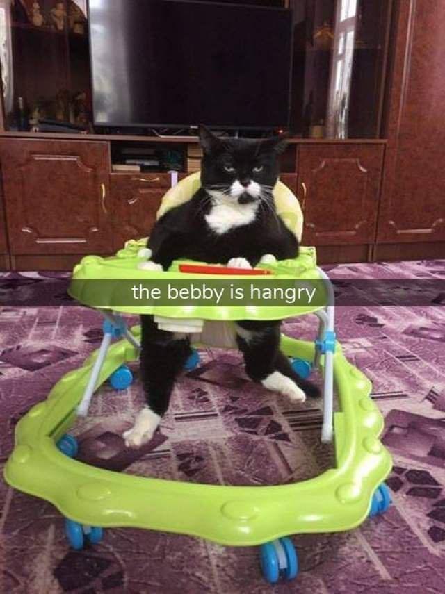 Boston terrier - the bebby is hangry