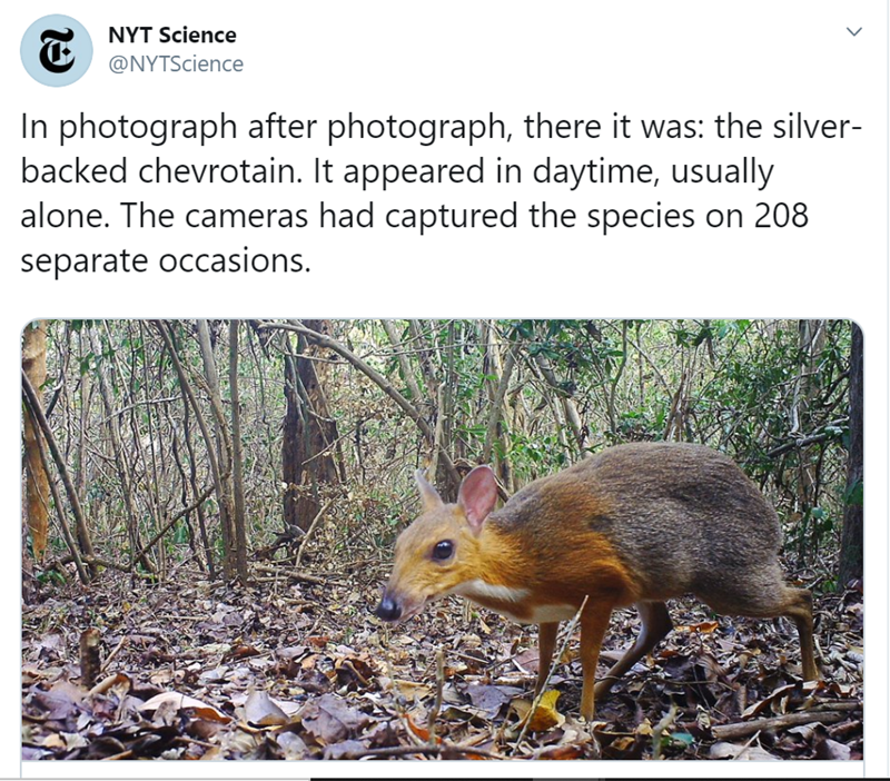 Terrestrial animal - NYT Science @NYTScience In photograph after photograph, there it was: the silver- backed chevrotain. It appeared in daytime, usually alone. The cameras had captured the species on 208 separate occasions.