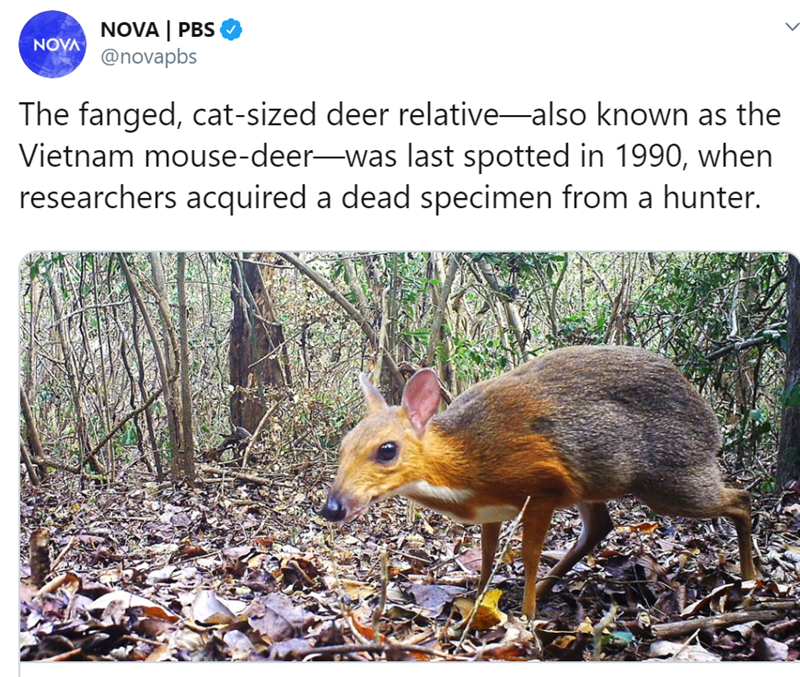 Wildlife - NOVA | PBS ΝΟΥΛ @novapbs The fanged, cat-sized deer relative-also known as the Vietnam mouse-deer-was last spotted in 1990, when researchers acquired a dead specimen from a hunter.