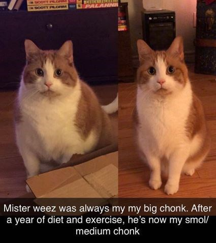Cat - NPALAHN SCOTT PLORM Mister weez was always my my big chonk. After a year of diet and exercise, he's now my smol/ medium chonk