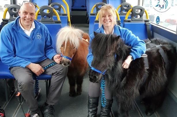 Shetland pony - nd