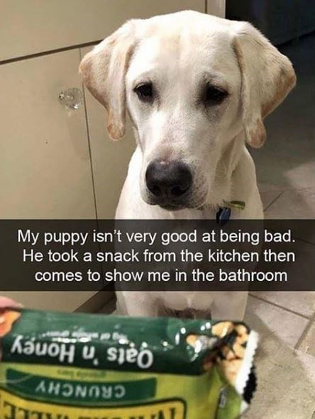 Dog breed - My puppy isn't very good at being bad. He took a snack from the kitchen then comes to show me in the bathroom Oats 'n Honey CRUNCHY